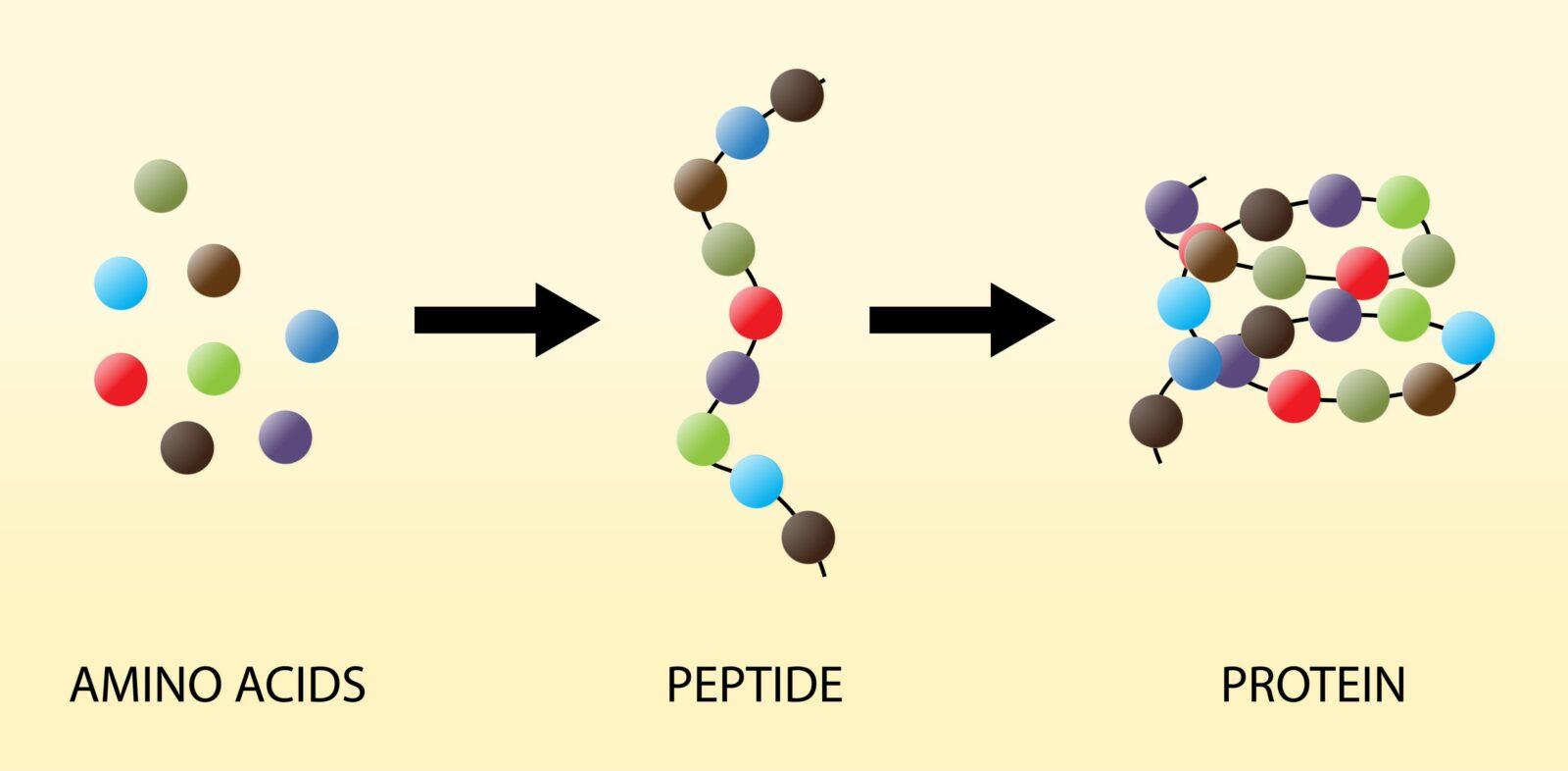 peptide, amino acids, proteins